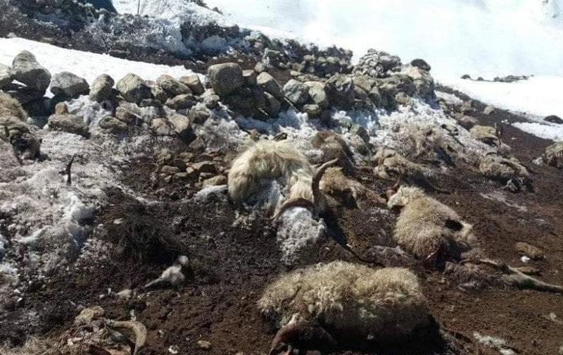 भारी हिमपात र वर्षाले रानीखर्कमा ५० वटा भेडाबाख्रा मरे image