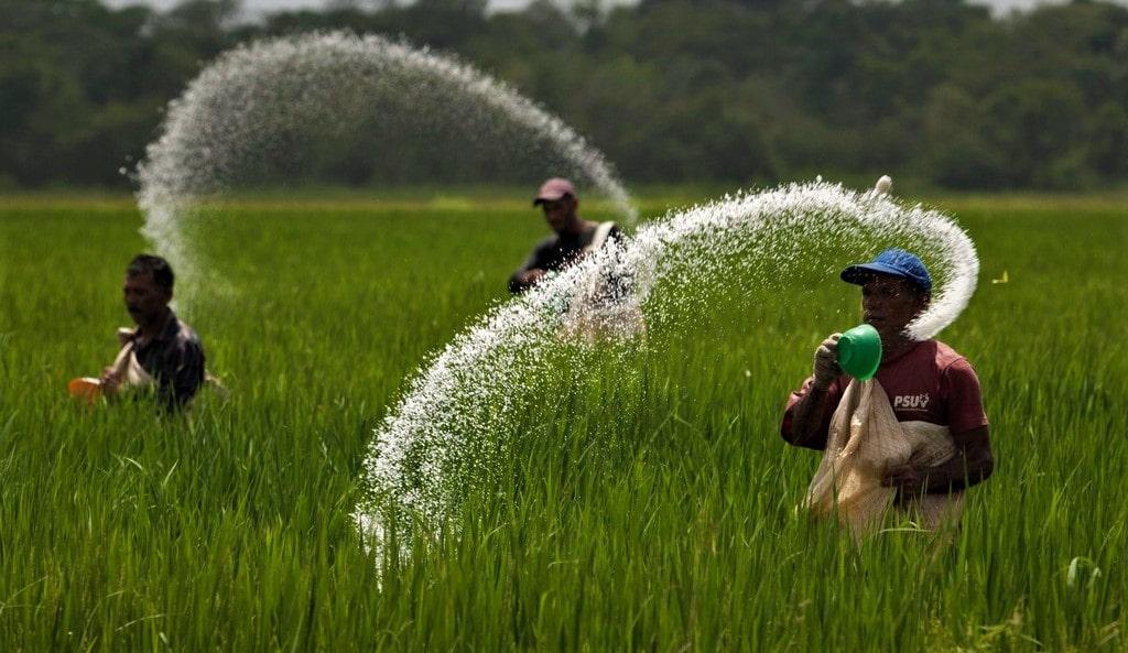 कञ्चनपुरमा रासायनिक मलको अभाव, मल नपाउँदा किसान चिन्तित image